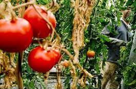 invernaderos-tomates.jpg